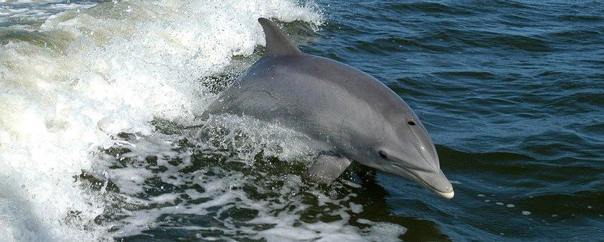 Bottlenose dolphin, tuimelaar, dolfijn