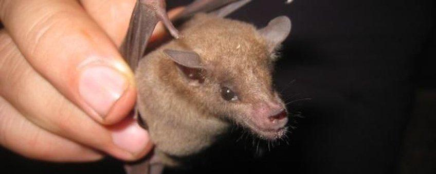 eenmalig gebruik A Curaçaoan Long-nosed Bat