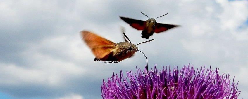 twee kolibrievlinders