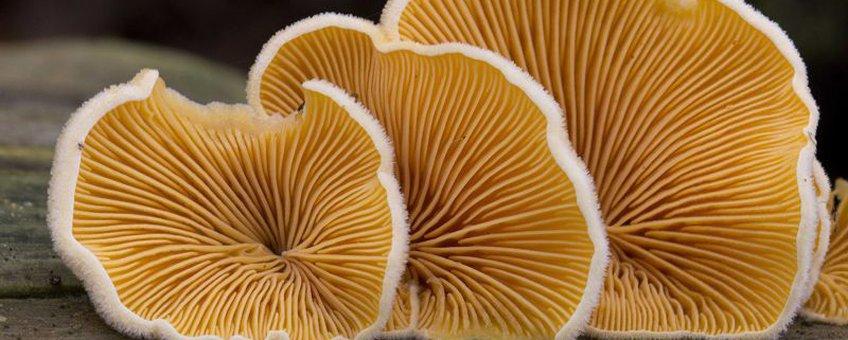 Oranje Schijnoesterzwam