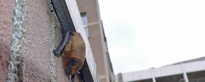 Gewone dwergvleermuis in de stad