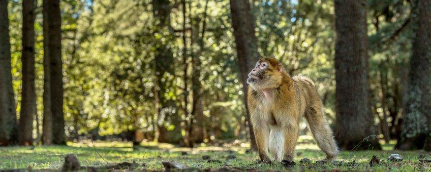Een berberaap in zijn kenmerkende leefgebied: cederbossen van het Atlasgebergte in Ifrane National Park.