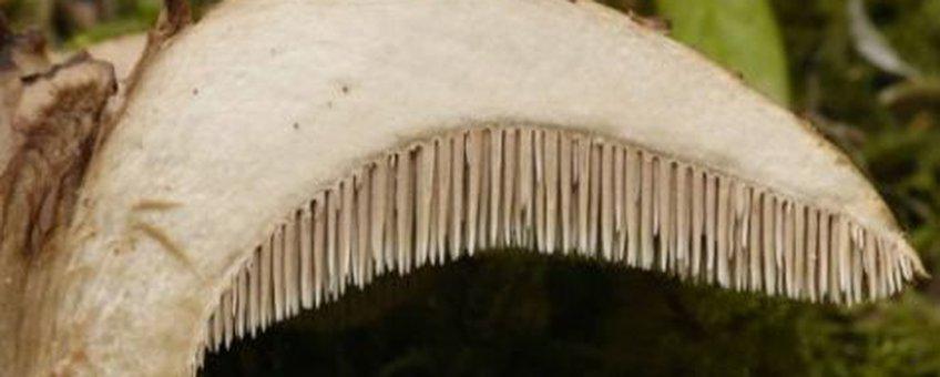 Stekels Stekelzwam N.J.Dam
