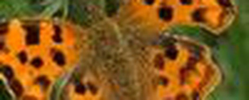 gehakkelde aurelia klein
