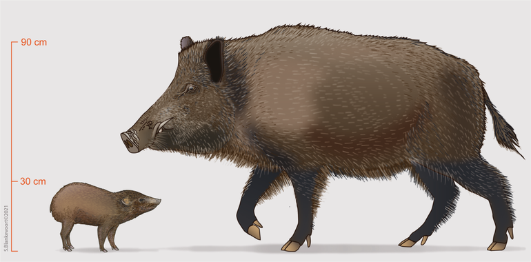 A visualization of an adult pygmy hog compared to an adult wild boar (Sus scrofa)