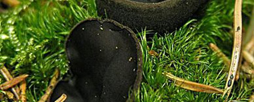 Zwarte bekerzwam klein