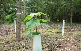 Aanplant rijkstrooiselsoorten in ongemengd douglasbos
