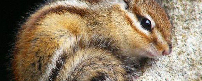 Siberische grondeekhoorn (fotograaf: Arudhio_Creative Commons)