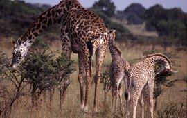 Giraffe familie (Giraffa camelopardalis)