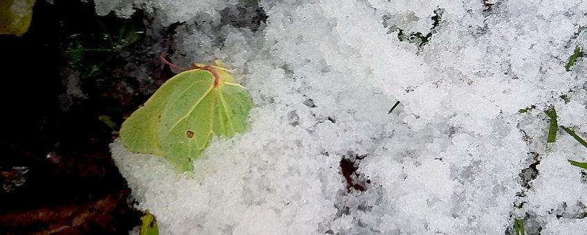 dode citroenvlinder in sneeuw - primair