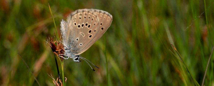 gentiaanblauwtje - primair