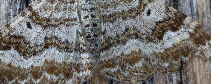 grauwe bandspanner - primair