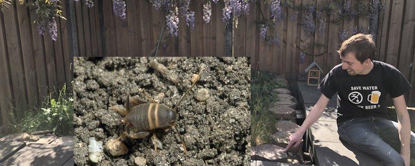 Vindplaats mierenkrekel in Cuijk
