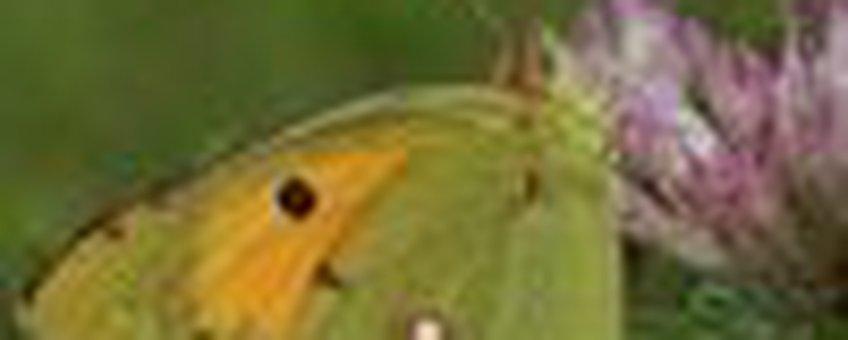 oranje luzernevlinder klein