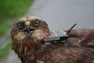 Bruine kiekendief 'Walter' werd met een UvA-BiTS GPS-logger getrackt