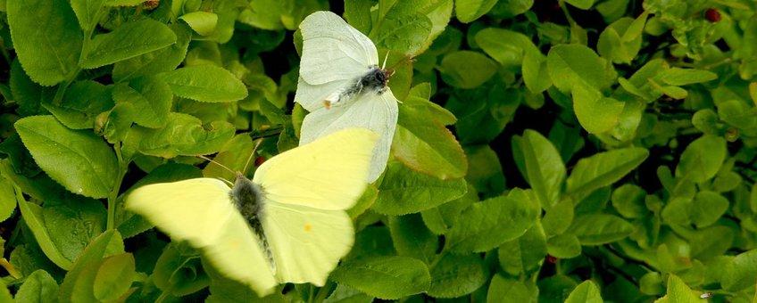 citroenvlinder primair