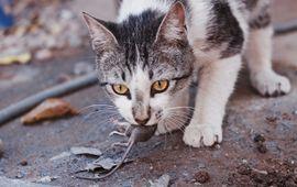 Kat met een muis