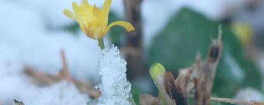 Speenkruid in de sneeuw