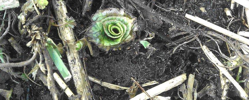 Bijenorchis, rozet met 5 bladeren. Begin maart 2011