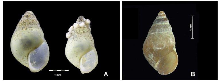 Huisjes van de nieuwe soort (A) uit de Noorder IJplas ( juni 2018). Afgebeeld zijn niet volledig volgroeide exemplaren, omdat juist dan de wat sterker uitgetrokken, langere mondopening goed zichtbaar is. B: Wadslakje uit het Waddengebied