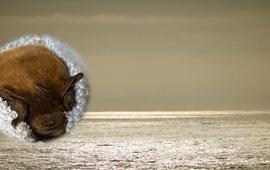 Zee met inzet kader ruige dwergvleermuis