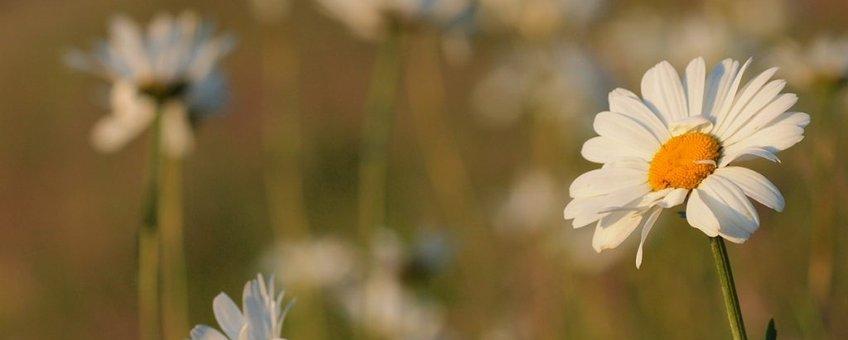 Leucanthemum vulgare. Gewone margriet