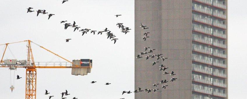 Rotganzen langs Oostende op 8 oktober