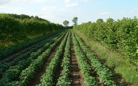 aardappel hazelaar agroforestry systeem, Wakelyns UK