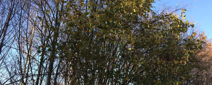 Bloeiende hazelaar op 9 december 2015 terwijl hij nog in blad staat