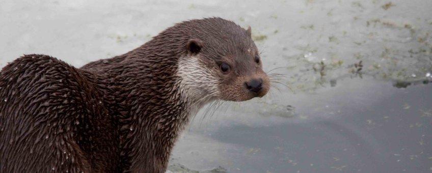 Otter EENMALIG GEBRUIK