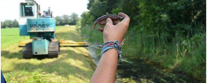 Eén van de 230 geredde grote modderkruipers wordt een helpende hand geboden om weer terug in het water te komen