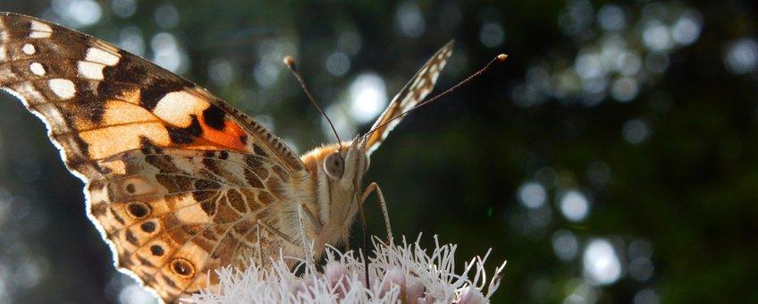 distelvlinder koninginnenkruid - primair