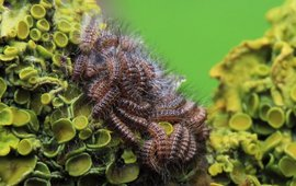 Eikenprocessierupsen 1ste larvestadium vervellend naar 2de larvestadium
