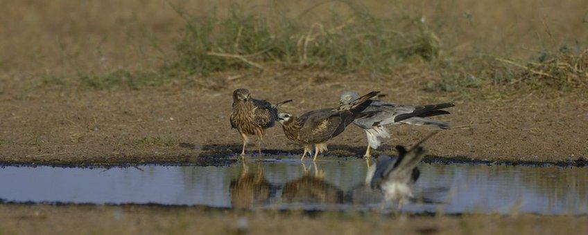 Vier grauwe kiekendieven drinken bij een waterplas in Senegal, 2009