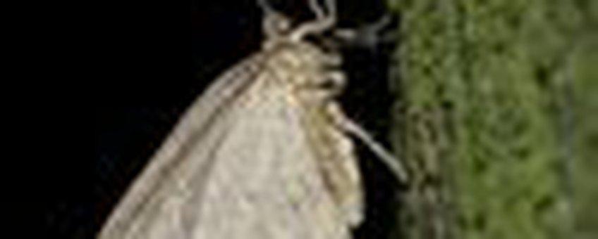 kleine wintervlinder klein