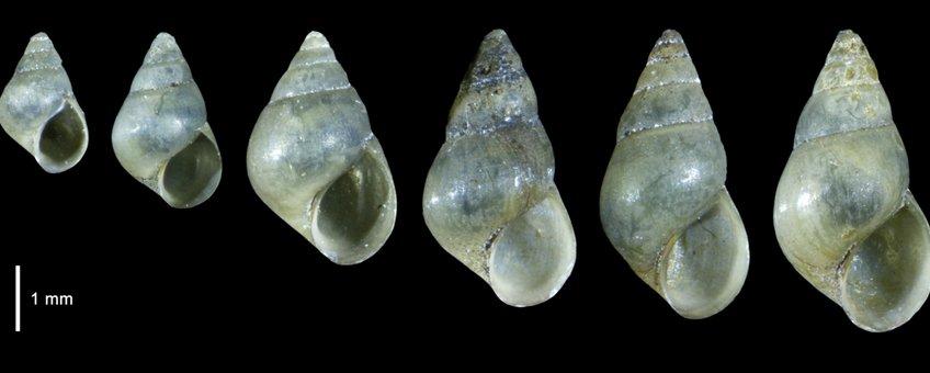 Zuid-Amerikaans brakwaterhorentje (Heleobia charruana)