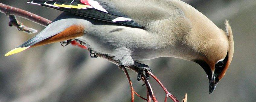 Pestvogel, Bombycilla garrulus. Foto: Randen Pederson, Creative Commons Attribution-Share Alike 2.0 Generic license