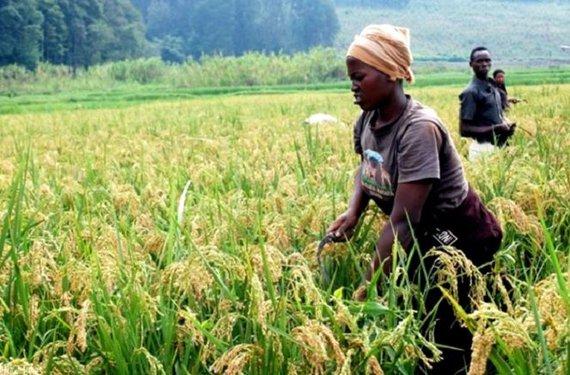 Rice production in Rwanda