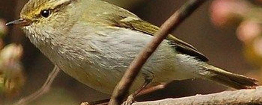 Phylloscopus proregulus. Pallasboszanger