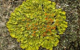 Groot dooiermos / Xanthoria parietina