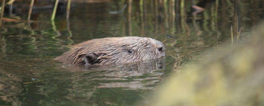Zwemmende bever in de Biesbosch