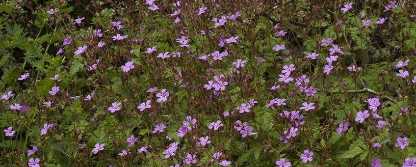 Geranium robertianum. Robertskruid