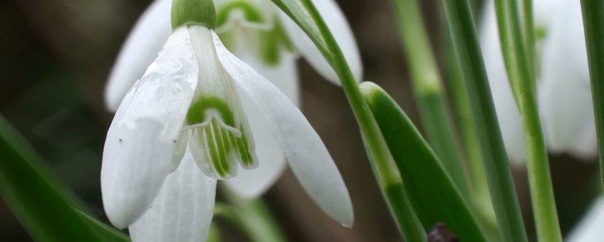 Sneeuwklokje in bloei