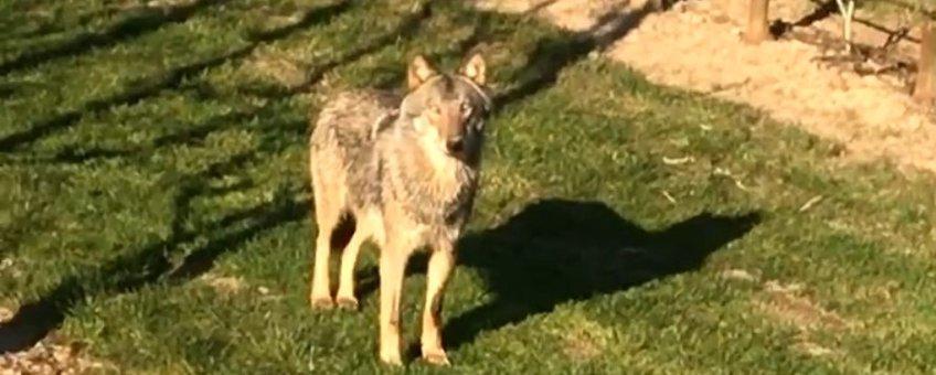 wolf betuwe