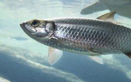 Atlantic herring (eenmalig gebruik WUR)