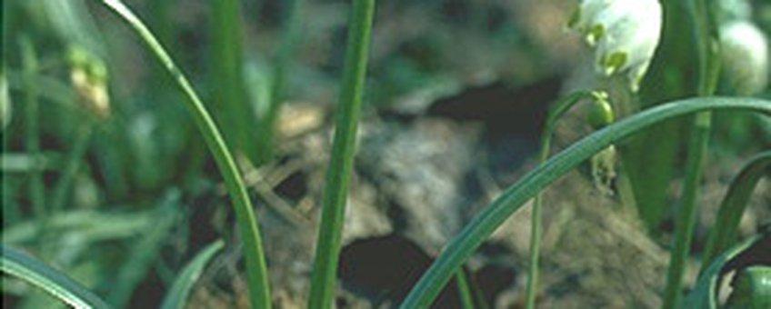 Lenteklokje. Fotograaf: C.A.J. Kreutz