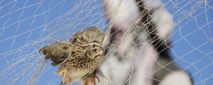 Vogelmoord in Egypte. Kwartel in net. Vogelvanger op achtergrond.
