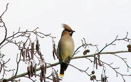 Pestvogel, wikipedia, (www.photo-natur.de).  Creative Commons Attribution ShareAlike 2.5
