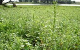 Artemisia biennis (rechte alsem)