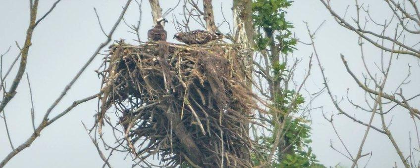 Visarend nest (eenmalig gebruik)